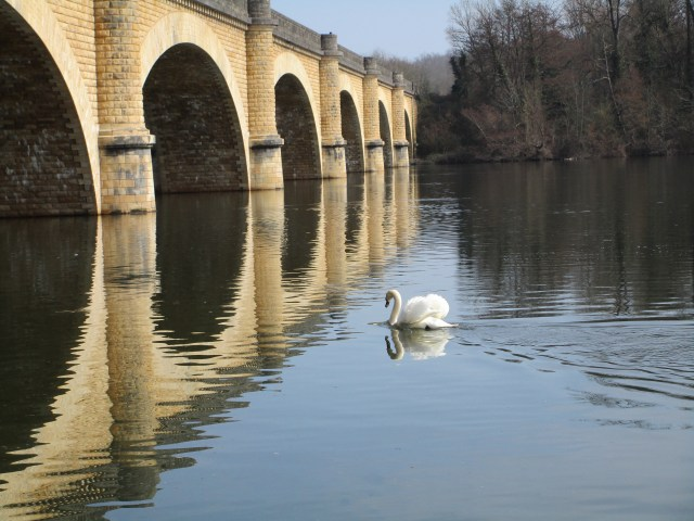 A majestic swan on the Dordogne.