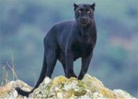 panther, black panther