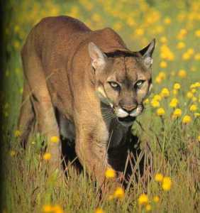 mountain lion, eastern cougar, cryptozoology