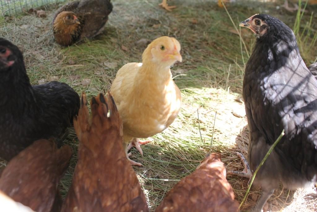 One Winged Buff Orpington chick