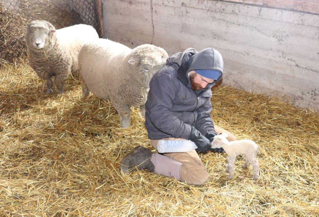 Bottle feeding a lamb