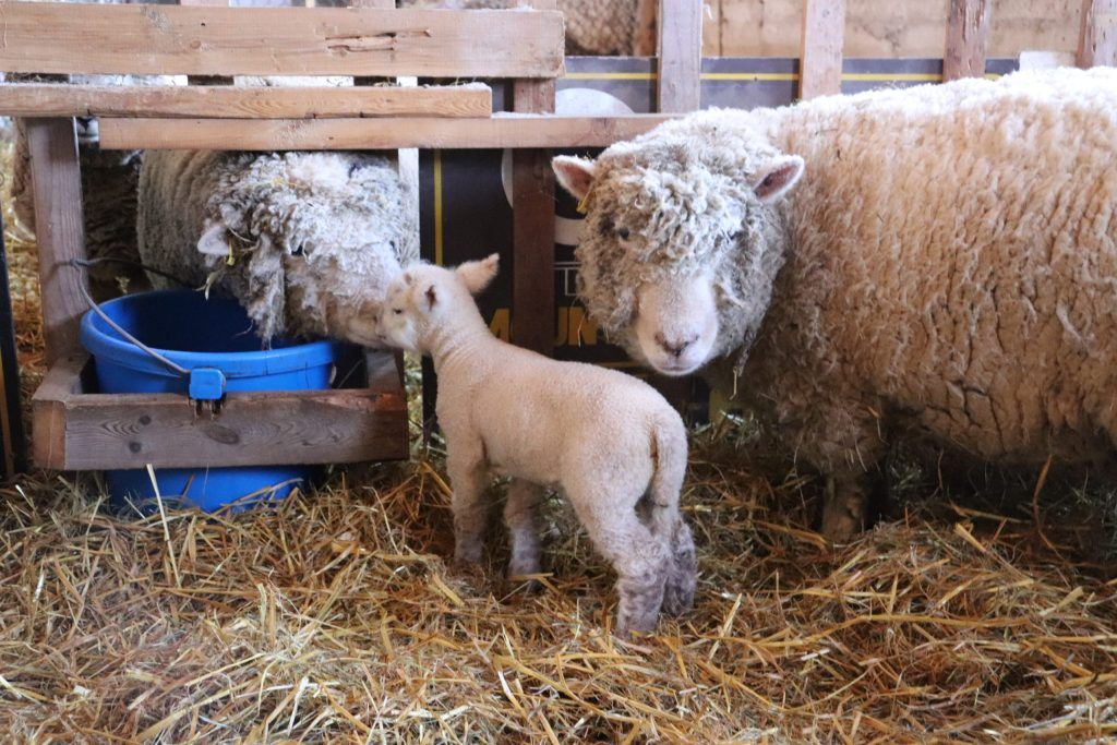A lamb saying hello to its father