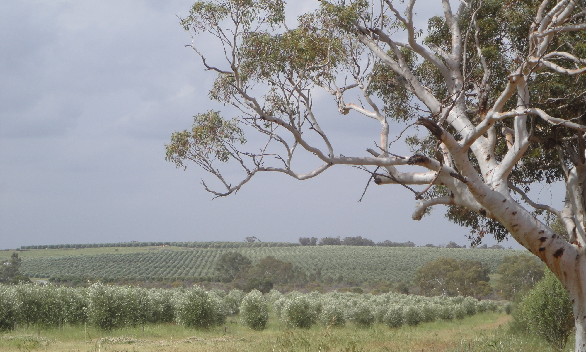 Olives in Western Australia