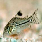 Julii Corydoras Catfish/ Leopard Cory 3.5 cm