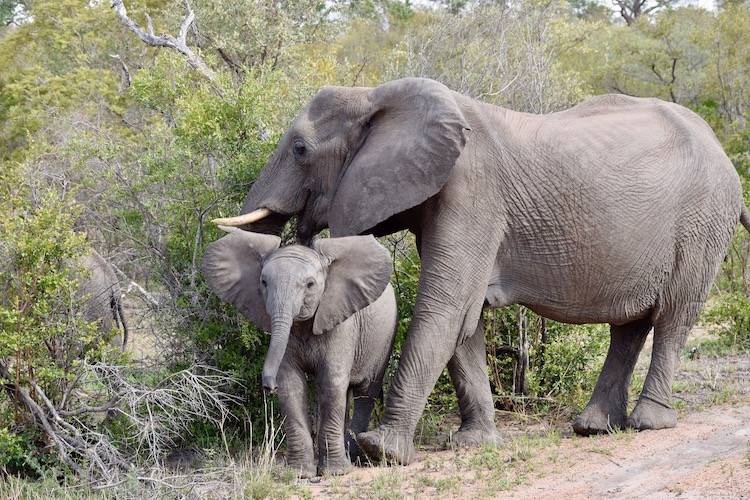 Mother and baby elephant in Kruger National Park in South Africa.