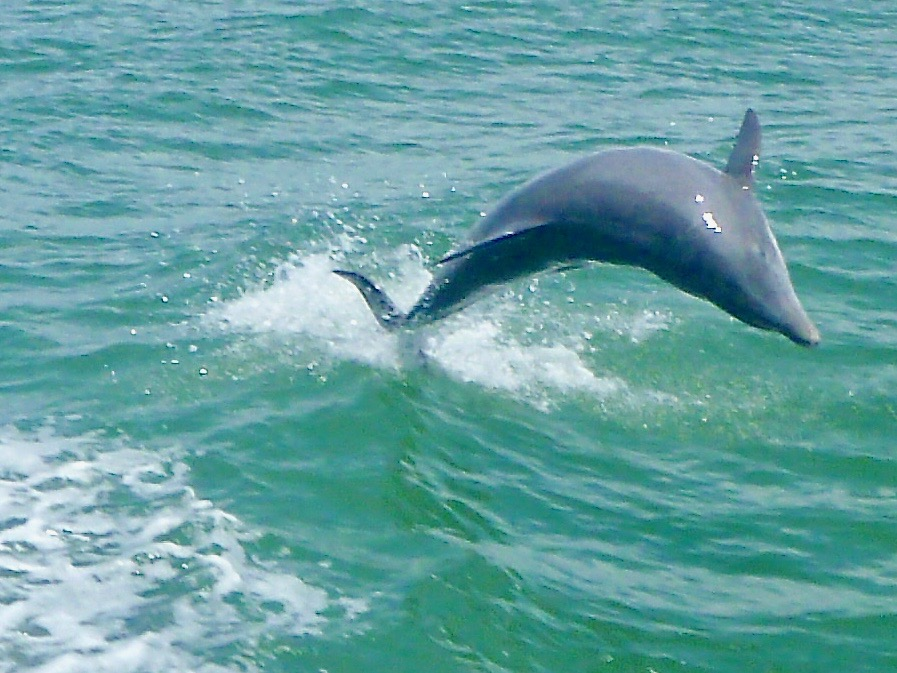 dolphin in the waters off of St. Pete Beach, a great east coast beach destination for families