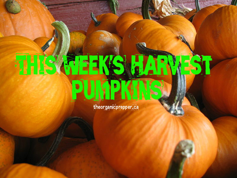 This Week's Harvest: Pumpkins