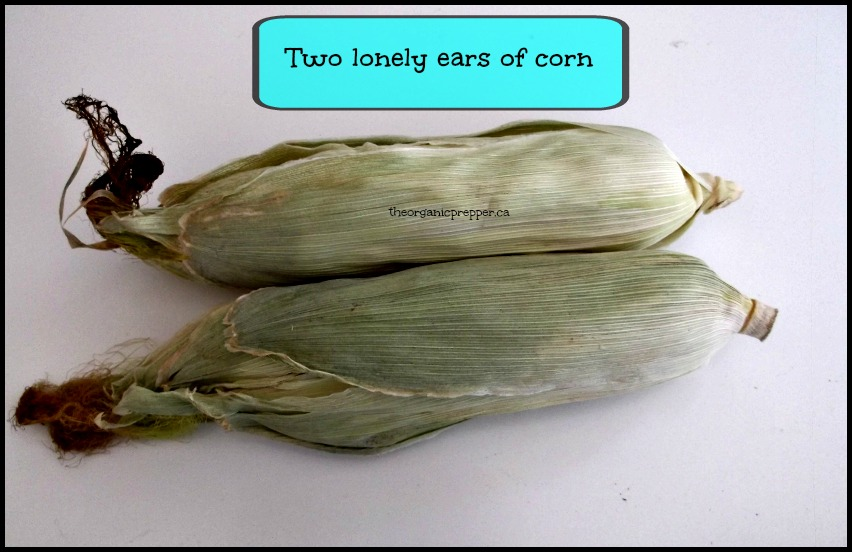 Two ears of corn