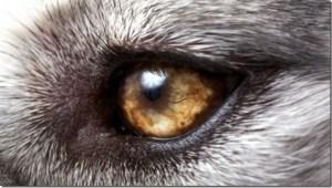 wolf-eyes-small_thumb