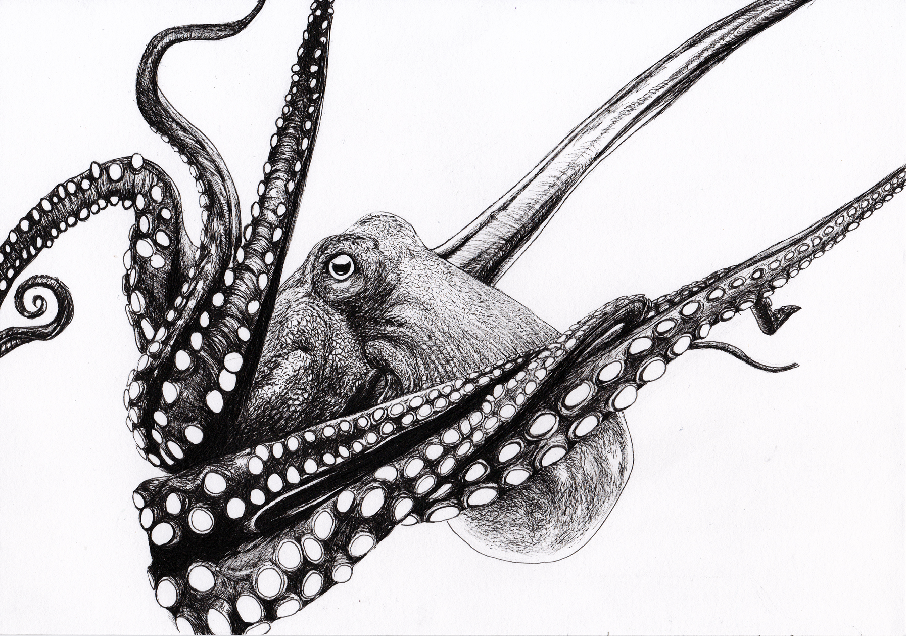 Octopus. Ink drawing. Gifty gift.
