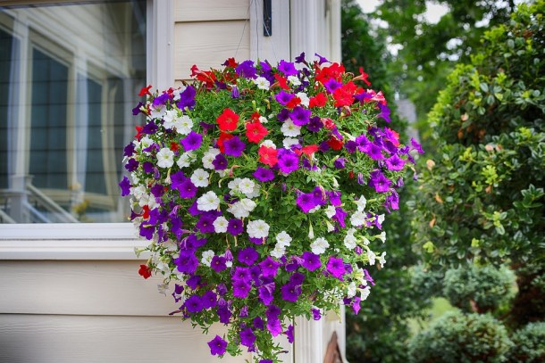Petunia Hanging Plant in vivid colors -  Winter flowering plants to grow in India