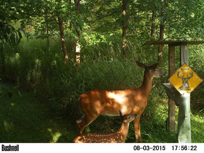 Doe/fawn at deer feeder