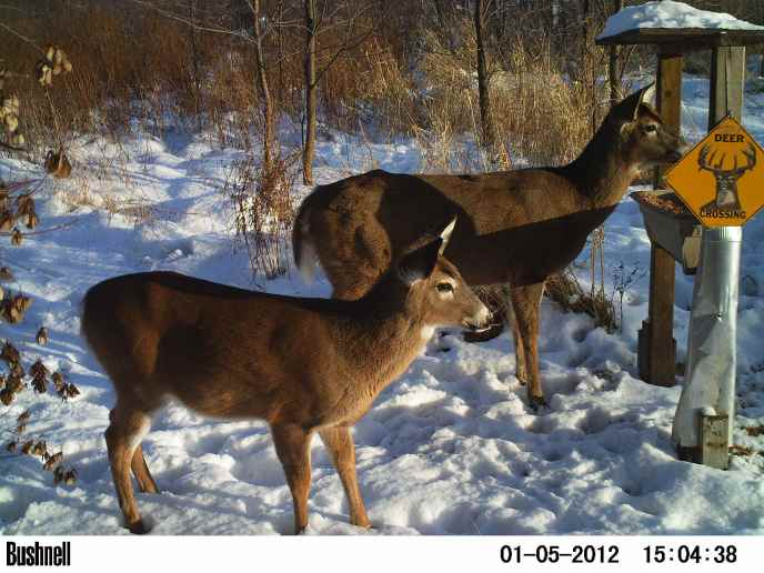 Backyard deer during winter