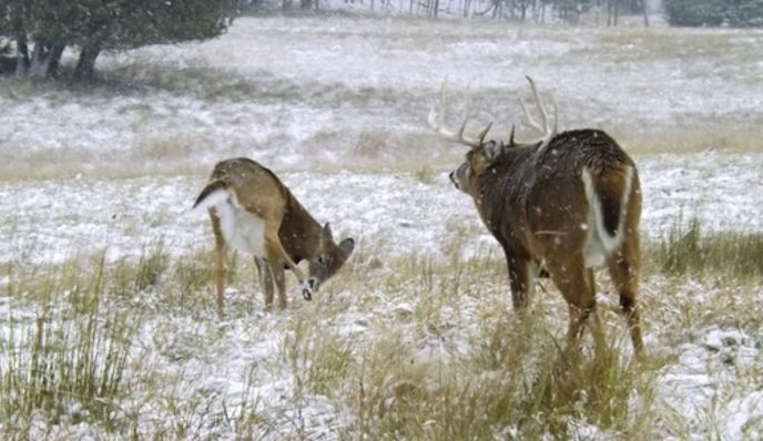 Whitetail Rut epitomized