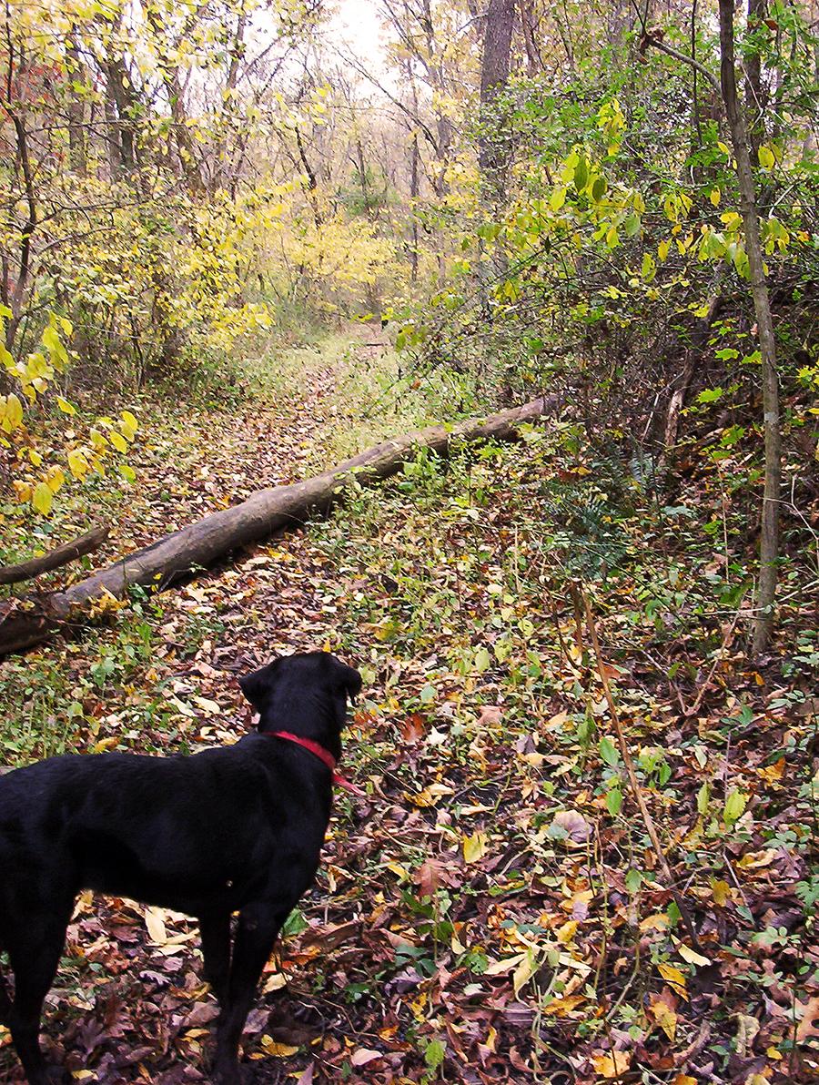 black lab dog in woods autumn