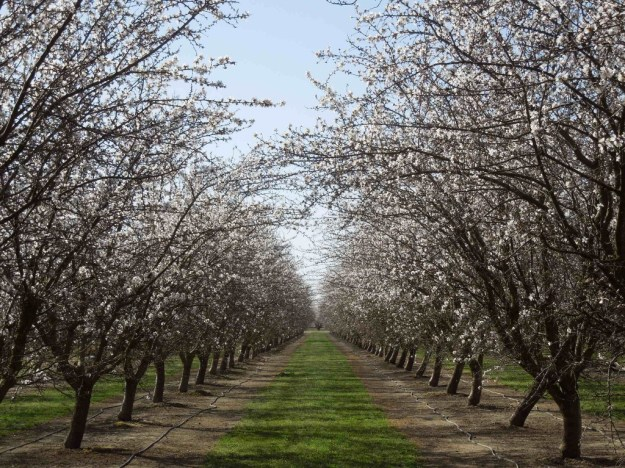 Almond Blossom Orchard