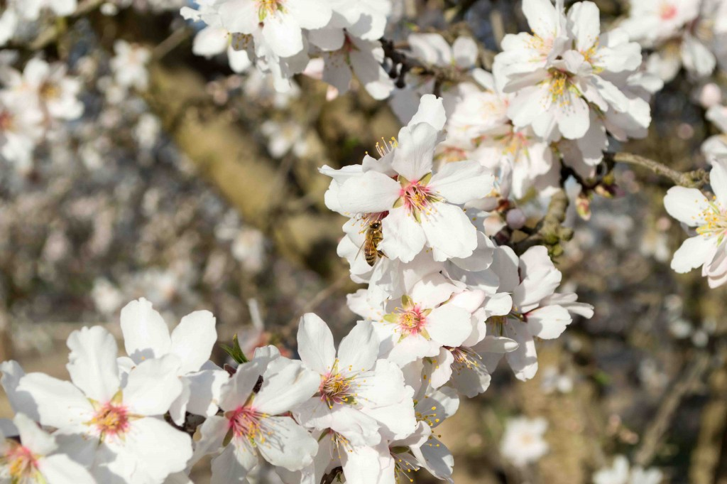 We Interrupt This Regularly Scheduled Post To Show You Pretty Almond Blossom Pictures