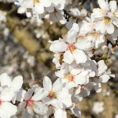 We interrupt this regularly scheduled blog post to show you pretty almond blossoms.