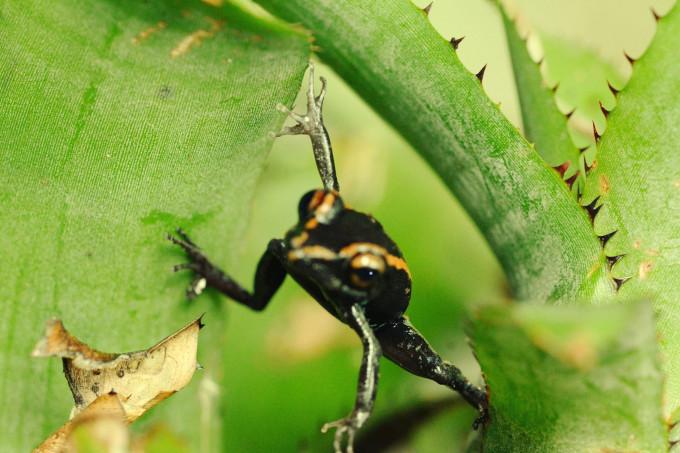 LH spider frog