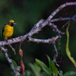 KN Yellow Crowned Euphonia