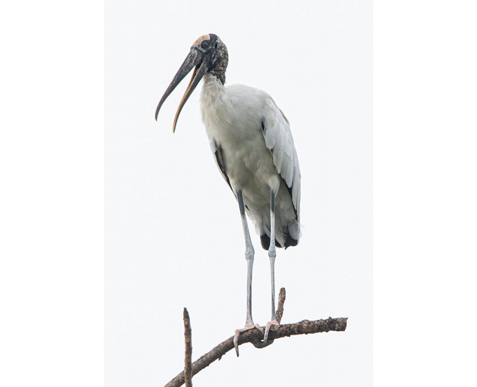 stork small