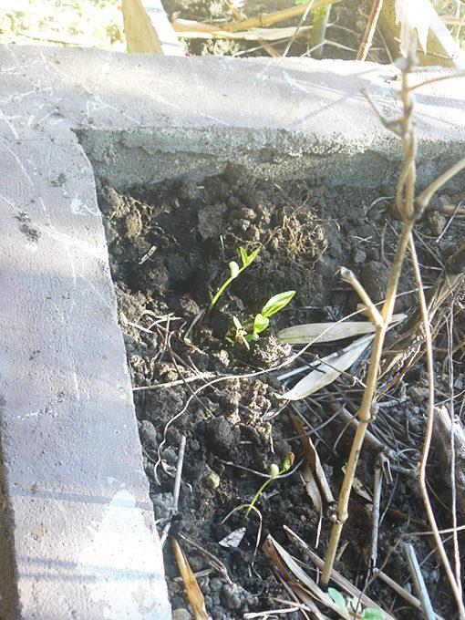 dry season planting