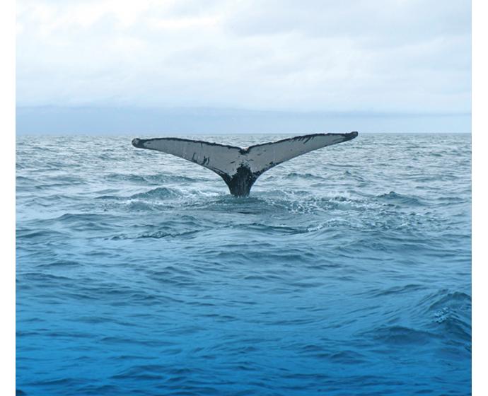 blue whale sounding