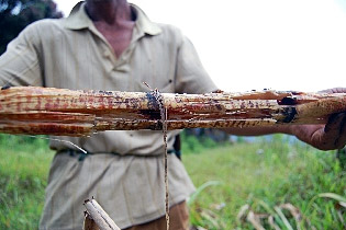 Sugarcane supposedly chewed by orang pendek