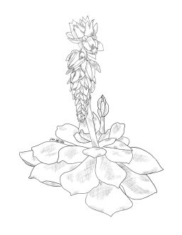 Pencil sketch of a blooming succulent.