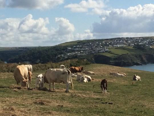 cows in fowey