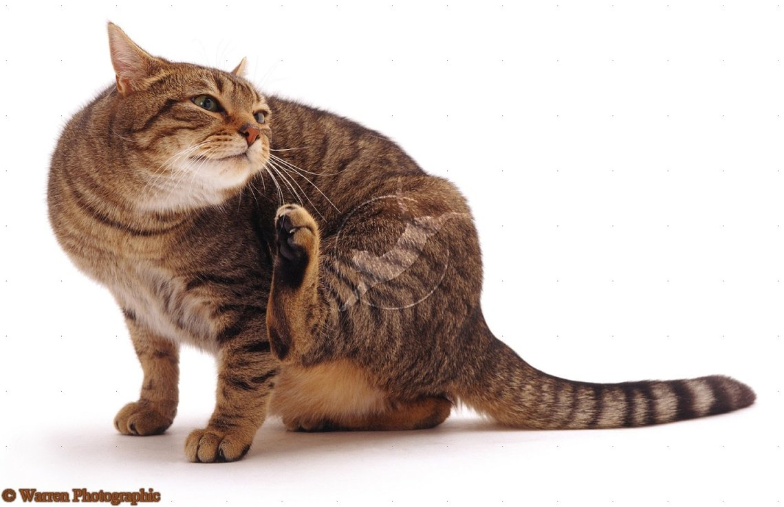Cat Fleas Cats can be allergic to flea