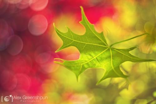 leaf-red-green-1-900