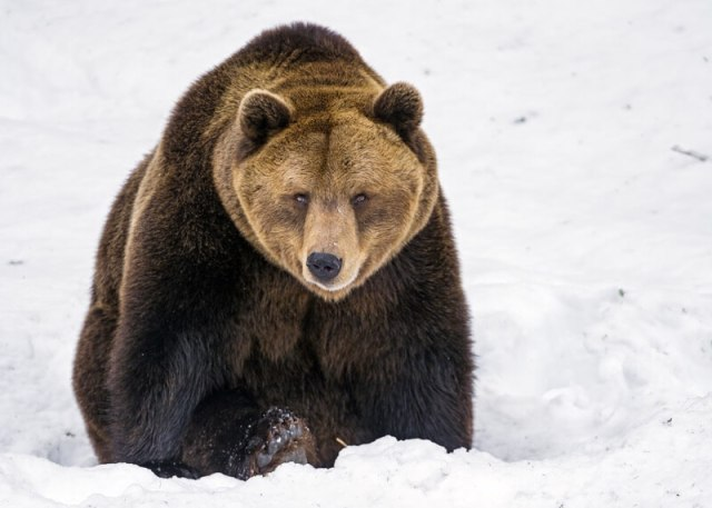 Tambako The Jaguar - Serious bear in the snow