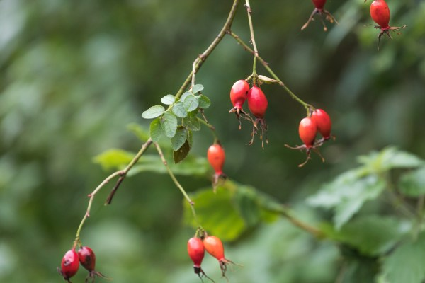Rose hips, October, autumn colours