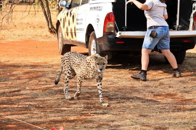 cheetah-8