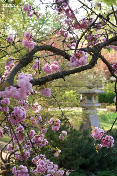 Setagaya Park Sculpture Cherry Blossoms