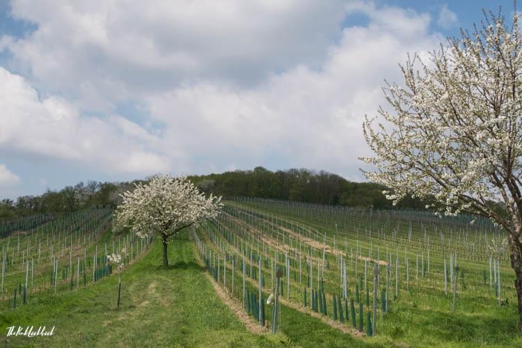Interview Andrea Strohmayer Kirschengenussquelle Breitenbrunn Cherry Trees