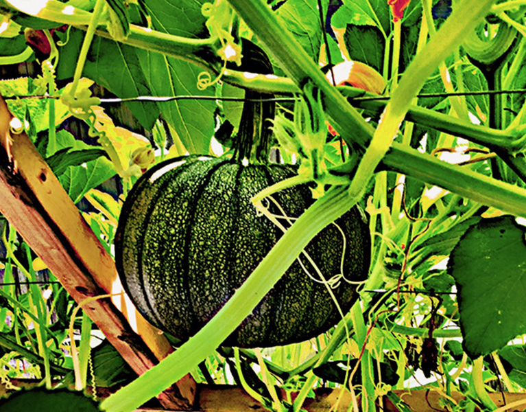 The perfect pumpkin to grow and to make pumpkin pie with.
