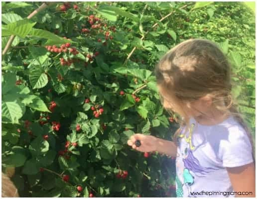 Berry Picking at Sweet Berry Farm Middletown RI.