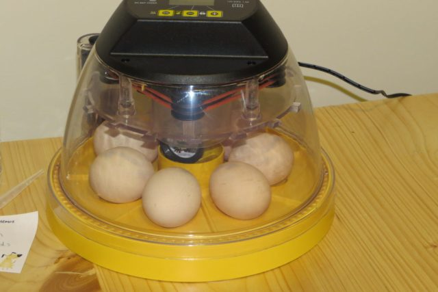 Incubating Part 2- Setting and Candling: Learn the basics of putting fertile chicken eggs into the incubator along with how and when to candle them!