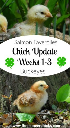 chick update weeks 1-3