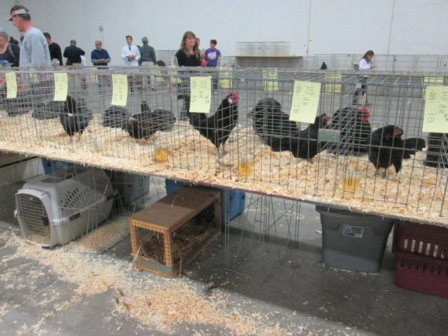 5 Steps for Preparing a Show Chicken- Making sure your show chicken looks clean and tidy is very important when entering a poultry show.