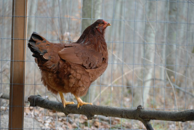 Keeping Chickens Warm during the Winter- Chickens can handle cold weather pretty well, but there are some things that you can do to help them conserve heat this winter!