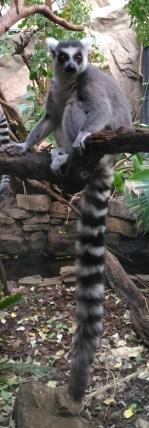Lemuris irritatis