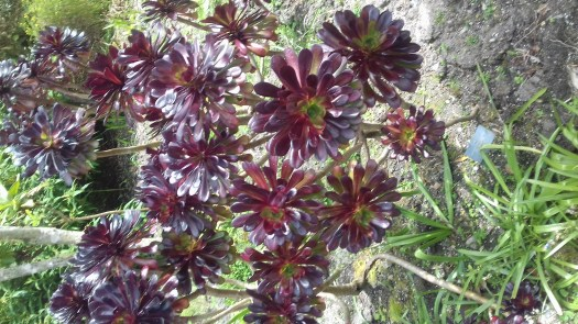 A picture of chocolate colour succulents.