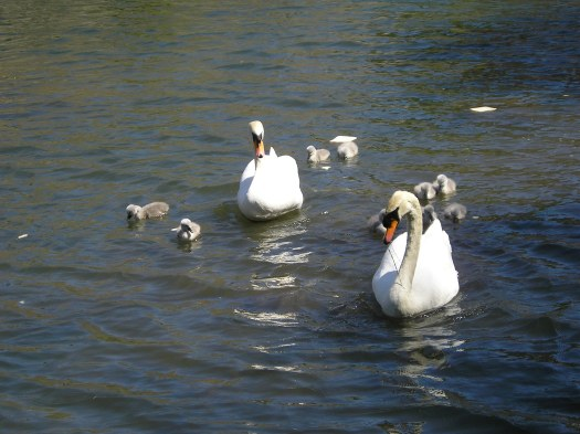 The photo shows a pair of swans with seven small cygnets