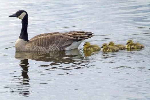 canada-goose-436090_960_720