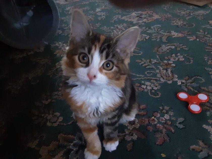 heidi a maine coon kitten
