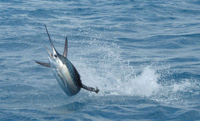 Non-impact observation is the best way to see these lightning fast fish / Photo: Wikimedia