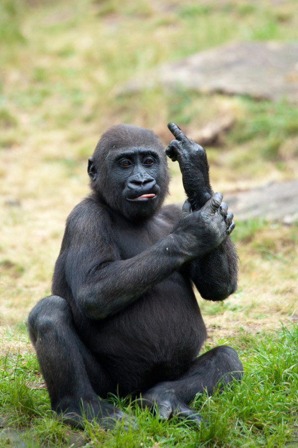 maimuta imagine haioasa